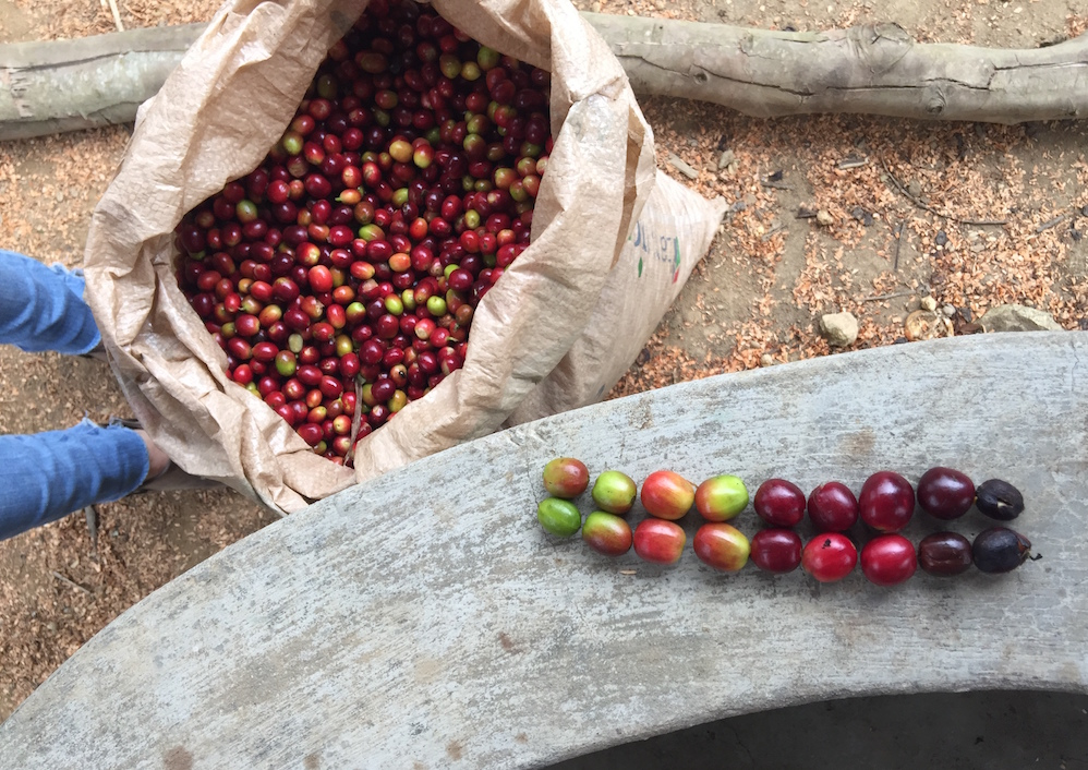 Coffee cherries, degrees of ripeness.